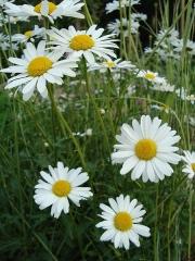 450px-Leucanthemum_vulgare1b.UME[1].jpg